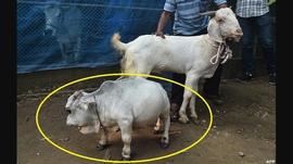 बंगलादेशमा विश्वको सबैभन्दा सानो गाई 'रानी' हेर्नेको घुँइचो (तस्बिरहरु)